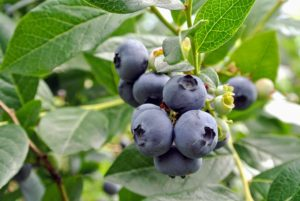 In general, blueberries are about five to 16 millimeters large with a flared crown at the end. They are pale greenish at first, and then reddish purple and finally dark purple-blue when ripe for picking.