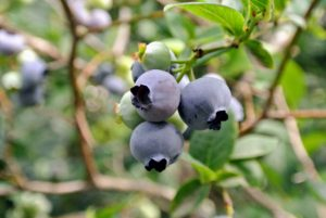Blueberries also freeze very well and once defrosted, can be used identically to fresh berries in almost any way.