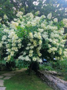This is Hydrangea paniculata 'Tardiva' in full bloom. 'Tardiva' is a late-flowering cultivar with loosely-packed, sharply pointed white flower heads that turn purplish-pink with age.