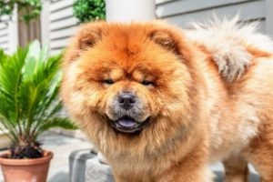"And here is my beautiful Empress Qin. The Chow Chow is a dog breed originally from northern China, where it is referred to as Songshi Quan, which means ""puffy-lion dog"" or Tang Quan meaning ""Dog of the Tang Empire"" - it is fitting that all my Chows are named Emperor or Empress. Qin is a champion show dog and a favorite friend to all here at my farm. For more information on Lucas and his video storytelling business, Full Focus Media, go to his web site. https://fullfocus.media/"