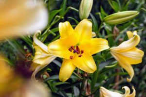 Here is another lily in bright buttercup yellow. Remember, if using lilies as cut flowers, gently pull the anthers off as soon as the flowers open, so the pollen doesn't stain your clothing.