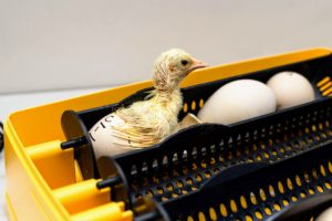 The peachick stays in the incubator until it is completely out of its shell and dry.