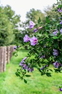 Here is a photo of the blooming Rose of Sharon - these flowers provide such a pretty show from summer to fall.