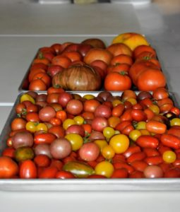 Here are some of the tomatoes just picked – fresh off the vine, and onto large trays on my kitchen counter.