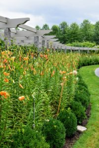 Here is the border a week later - hints of creamy orange have emerged and the bed is brimming with lily buds.