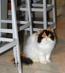 When my dogs are away, the cats love spending time in my Winter House kitchen. As in most homes, the kitchen is the center of activity. Here's Peony next to the stools of my kitchen counter. I always have someone sleep over when I am not at home, so they continue to get all the attention they need.