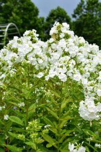 Phlox also comes in a range of colors from pure white to lavender to even red, and grows happily in most parts of the country. If properly planted and sited, phlox is largely pest and disease free too – a perfect perennial.