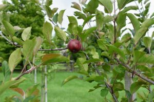 Some of the plums I am growing are hybrids, such as 'Black Ice', 'Grenville', 'Kaga', 'Pipestone', 'Toka', and 'Waneta'.