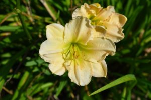 And here is one of many kinds of lilies that bloom in my flower garden. I also have lilies along my winding pergola, outside my Winter House kitchen and in the sunken garden behind my Summer House. My collection of lilies is a combination of Oriental, Asiatic, trumpet, and Orienpet lilies.