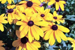 These are the showy flower heads of rudbeckia. Rudbeckia's bright, summer-blooming flowers give the best effect when planted in masses in a border or wildflower meadow.