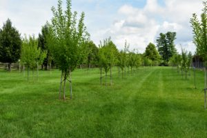 This orchard surrounds three sides of my pool. We planted more than 100-fruit trees. Many were bare-root cuttings from Fedco, a cooperative-run company located in Clinton, Maine, that specializes in seeds, tubers, trees, and bulbs.