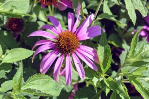 Echinacea purpurea, or purple coneflower, is a hardy perennial. Echinacea is a genus, or group of herbaceous flowering plants in the daisy family.