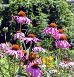 Echinacea purpurea has a large center cone, surrounded by pink-purple petals that brighten the garden in mid-summer. Look closely, and you will see a happy bee on one of the flower centers.