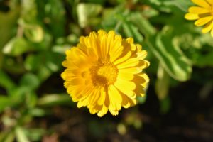 Calendula has daisy-like bright orange or yellow flowers, and pale green leaves. Commonly called the pot marigold, Calendula officinalis, the calendula flower is historically used for medicinal and culinary purposes.