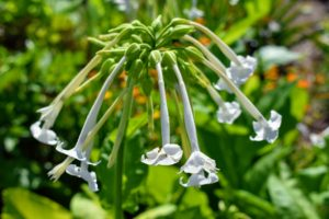 Nicotiana is a genus of herbaceous plants and shrubs of the family Solanaceae, that is indigenous to the Americas, Australia, southwest Africa and the South Pacific. It is also called tobacco flower, or flowering tobacco – and yes, Nicotiana has high concentrations of nicotine.