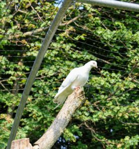 This white bird is a Homer – among the most famous pigeon breeds. Homers come in a variety of colors and have a remarkable ability to find their way home from very long distances.