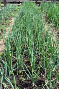 The onions look wonderful too. We planted a lot of white, yellow and red onions. Onions are harvested later in the summer when the underground bulbs are mature and flavorful. I always look forward to the onion harvest!