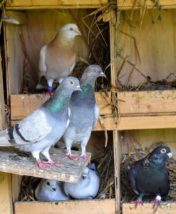 Oftentimes, pigeons of the same breed will stay close together – here is a pair of Dunn Tipplers.