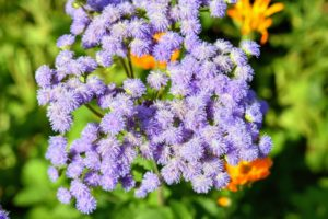 Ageratum houstonianum, a native of Mexico, is among the most commonly planted ageratum variety. Ageratums have soft, round, fluffy flowers in various shades of blue, pink or white.