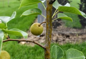 I also planted many types of Asian pear, Pyrus pyrifolia, which is native to East Asia. These trees include Hosui, Niitaka, Shinko, and Shinseiko.