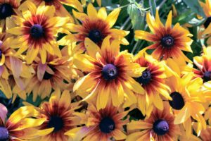 In general, rudbeckias are relatively drought-tolerant and disease-resistant. Flower colors include yellow and gold, and the plants grow two to six feet tall, depending on the variety.