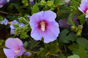 If you choose to include Rose of Sharon in your garden, it should start blooming within one to two years.