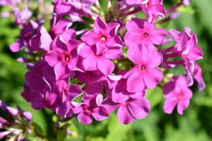 Phlox 'Robert Poore' is magenta in color with superb heat and mildew resistance. This is a tall and upright grower that's great for the back of the border, or even planted at the edge of the garden among the shrubs.