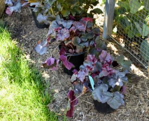 At one end of the pool fence, on the inside, I planted a group of Heuchera 'Obsidian', also known as Obsidian Coral Bells. The glossy dark maroon, almost black, leaves keep their color all season - it adds a gorgeous accent to the bed.