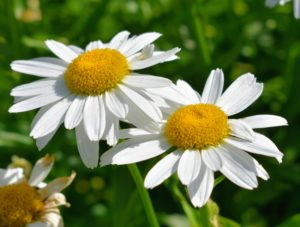 Shasta daisy flowers provide perky summer blooms, offering the look of the traditional daisy along with evergreen foliage.They are low maintenance and great for filling in bare spots in the landscape.