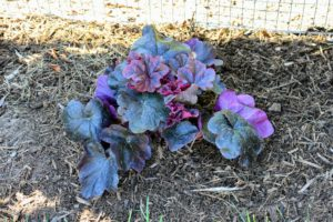 The deep purple-black leaves deliver the darkest hue of all Coral Bells. The name is taken from the rock obsidian, a black stone formed when lava strikes water. Like all Coral Bells, Heuchera 'Obsidian' doesn't grow huge. At maturity, it will be about 10-inches tall by 16-inches wide.