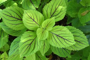 And this is Coleus scutellarioides 'Gay's Delight'. It has wide chartreuse leaves with thin, nearly black veining that's so striking. It is a relatively low maintenance plant and deer don't particularly care for it, which is always a good thing. What's blooming in your garden?
