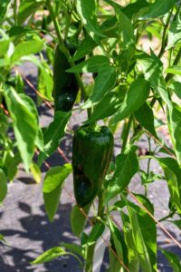 Our hot peppers have also been very prolific. The ideal temperature for hot peppers is a daytime reading around 75-degrees Fahrenheit and a nighttime temperature around 62-degrees Fahrenheit.