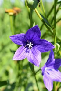 And the opened flowers resemble those of bellflowers, and while most often deep blue or purple, white and pink varieties are also available.