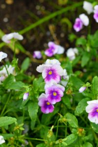 Hard not to love these dainty violets. Violets are a genus of spring flowering plants in the family Violaceae. There are about 400 to 500 species of violets in the genus. Violets are native to the temperate Northern Hemisphere and are also distributed in Hawaii, Australia, and the Andes in South America. Violets typically have heart-shaped leaves, and asymmetrical flowers. Flower colors vary from shades of blue, yellow, white and cream.