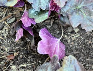 I love the undersides of the leaves - a bright purple. Heuchera is exceptionally cold hardy and loves sun or partial shade on moist but well-drained, organic-enriched soils.