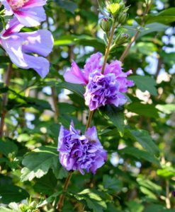 Rose of Sharon shrubs are vigorous growers and hardy plants with few pest or disease issues.