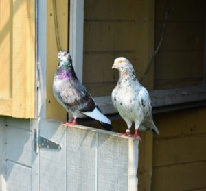 The pigeons love sitting on the bottom half of the Dutch door to their coop. Pigeons are thought to navigate by sensing the earth's magnetic field and using the sun for direction. Other theories include the use of roads and even low frequency seismic waves to find their way.