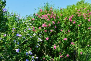 Rose of Sharon grows best in plant hardiness zones 5 through 9.