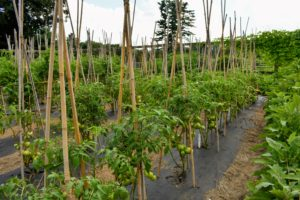 Here in the Northeast, recent weather has been very, very warm – uncomfortable for many of us, but good for the tomato crops. All the tomato plants are well-supported under bamboo teepee-like structures and laden with fruits.