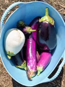 Here's a trug bucket of eggplants. I like to pick them when they're smaller, when they are young and tender.