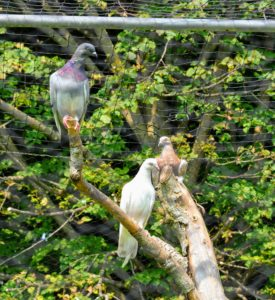 All birds roost and all my birds have lots of perches made out of felled branches found right here at the farm. The pigeons love to perch during the day.