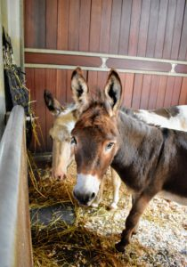 My fun-loving Sicilian donkeys, Billie and Rufus, are enjoying some hay from their NibbleNet - a special hay net specially designed to slow feed times, curb boredom, and simulate grazing. All my horses love pulling their hay from these feeders.