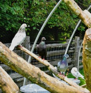 Pigeons are very docile, gentle and sweet natured birds. Everyone at the farm loves to visit with them.