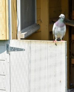 And like humans, pigeons can see in color, but they can also see ultraviolet light, a part of the spectrum that humans cannot see. As a result, pigeons are often used in search and rescue missions at sea.