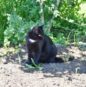 Blackie stays in and near my main greenhouse and loves the shade gardens near my pergola and Tenant House.