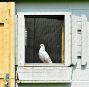 This pigeon is in the window of the coop. I am so pleased with how well they are doing here. See you later, my dear birds.