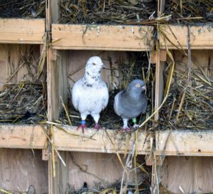 Inside the coop, we created an entire wall of nesting spaces. Pigeons mate for life, and both female and male pigeons share responsibility of caring for and raising their young.