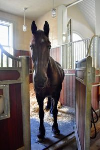 This is Rinze - he is always so curious. The Friesian breed is most often recognized by its black coat. The Friesian stands about 15.3 hands but may vary from 14.2 to 17 hands at the withers.