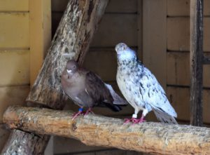 I just love the wide range of colors and markings on these fancy pigeons.