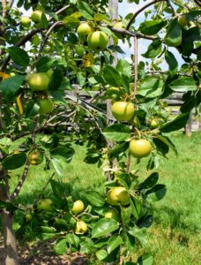 Apple trees need well-drained soil - nothing too wet. The soil also needs to be moderately rich and retain moisture as well as air.